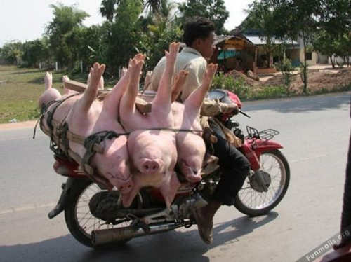 Delivery pigs