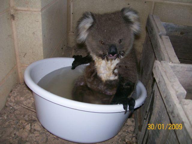 koala bear pic