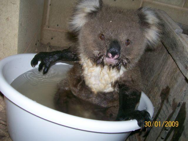koala bear picture